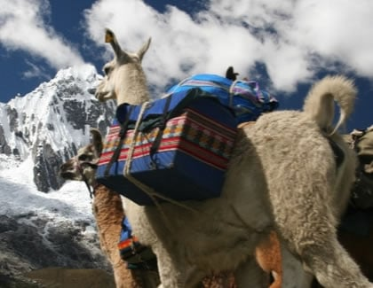 Alpaca carrying luggage up a mountain